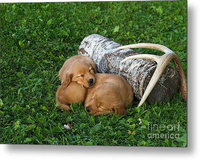Golden Retriever Puppies Metal Print by Linda Freshwaters Arndt