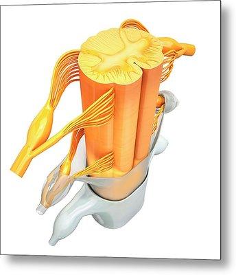 Human Spinal Chord Metal Print by Pixologicstudio