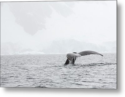 Humpback Whales Feeding On Krill Metal Print by Ashley Cooper
