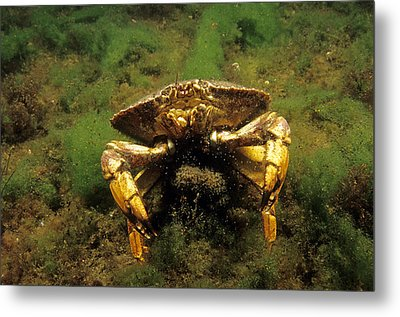 Jonah Crab Metal Print by Andrew J. Martinez