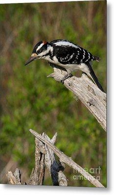 Male Hairy Woodpecker Metal Print by Linda Freshwaters Arndt