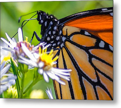 Monarch Butterfly Metal Print by Brian Stevens