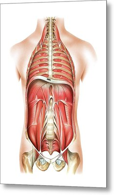 Muscles Of Trunk And Abdomen Metal Print