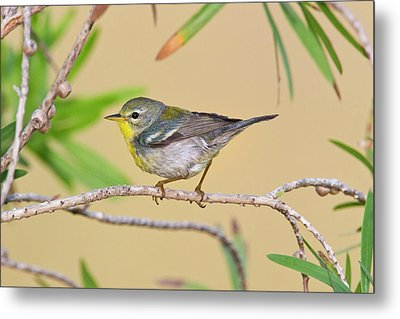 Northern Parula (parula Americana Metal Print by Larry Ditto