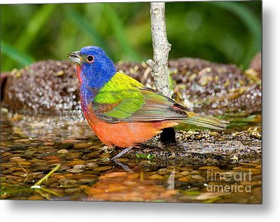 Painted Bunting Metal Print by Anthony Mercieca
