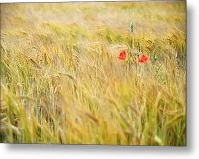 Poppies Metal Print by Guido Montanes Castillo