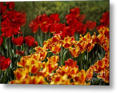 Red And Yellow Tulips Metal Print by Nailia Schwarz