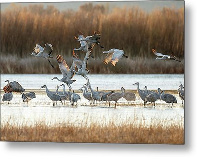 Sandhill Cranes Flying, Grus Metal Print by Maresa Pryor