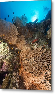 Sea Fan And Tropical Reef In The Red Sea. Metal Print by Stephan Kerkhofs