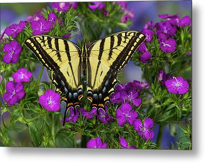 Two-tailed Swallowtail Butterfly Metal Print