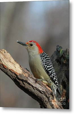 Red-bellied Woodpecker Metal Print by Jack R Brock