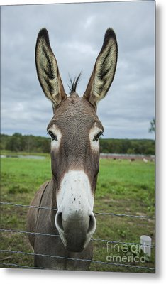 Animal Personalities Friendly Quirky Donkey Face Close Up Metal Print by Jani Bryson