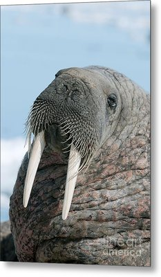 Atlantic Walrus Metal Print