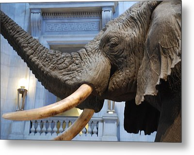 Bull Elephant In Natural History Rotunda Metal Print