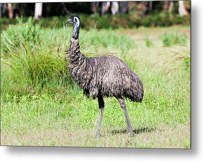 Emu (dromaius Novaehollandiae Metal Print by Martin Zwick