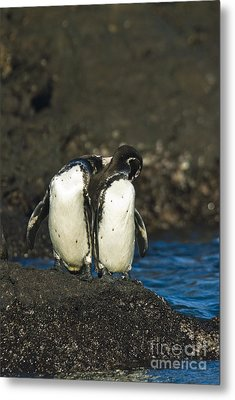 Galapagos Penguins Metal Print by William H. Mullins
