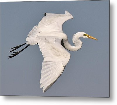 Great White Egret In Flight Metal Print by Paulette Thomas
