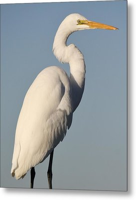 Great White Egret Metal Print by Paulette Thomas