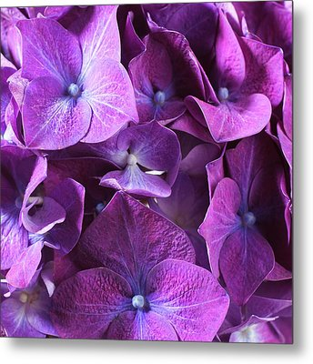 Hydrangea Flower And Soil Acidity Metal Print by Science Photo Library