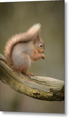 Red Squirrel Metal Print by Andy Astbury