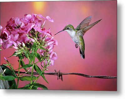 Ruby-throated Hummingbird (archilochus Metal Print