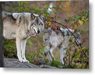 Timber Wolves Metal Print by Michael Cummings