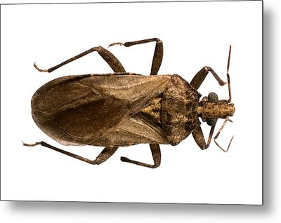 Triatomine Bug Metal Print by Science Photo Library