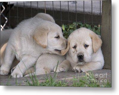 Yellow Labrador Retriever Puppies Metal Print by Linda Freshwaters Arndt
