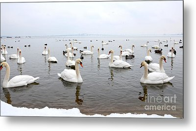 60 Swans A Swimming Metal Print