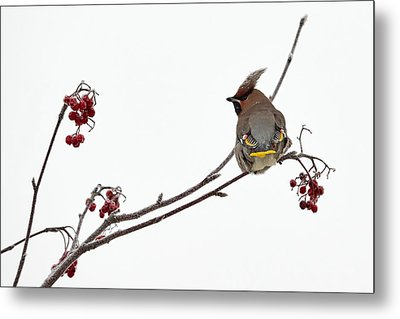Bohemian Waxwings Eating Rowan Berries Metal Print by Jouko Lehto