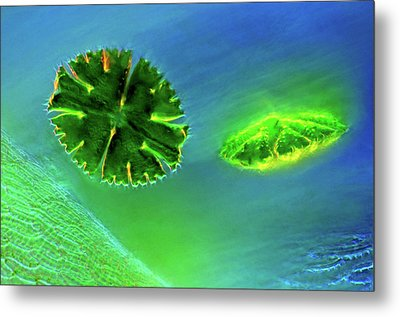 Desmids And Sphagnum Moss Metal Print