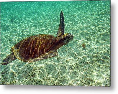 Ecuador, Galapagos National Park Metal Print by Jaynes Gallery