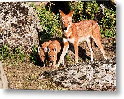 Ethiopian Wolf (canis Simensis Metal Print