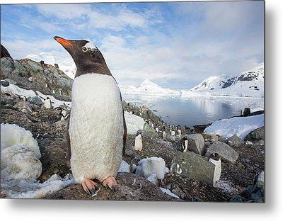 Gentoo Penguins Metal Print