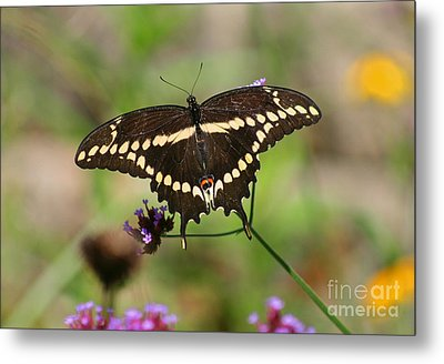 Giant Swallowtail Butterfly Metal Print by Karen Adams