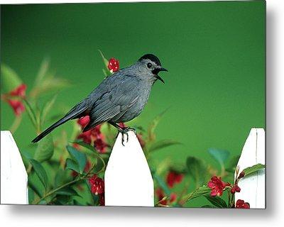 Gray Catbird (dumetella Carolinensis Metal Print