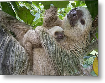 Hoffmanns Two-toed Sloth And Old Baby Metal Print