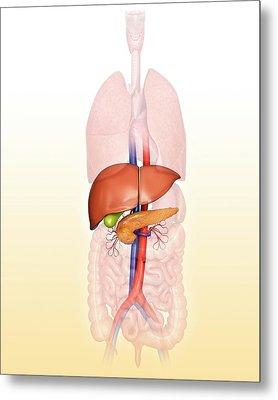 Human Internal Organs Metal Print by Pixologicstudio
