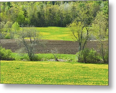 Spring Farm Landscape With Dandelion Bloom In Maine Metal Print