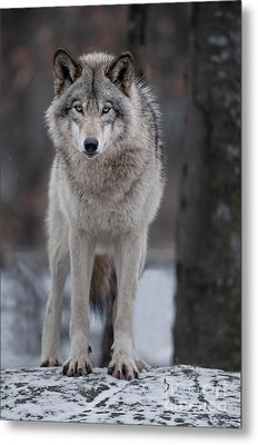Timber Wolf  Metal Print by Wolves Only