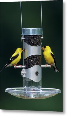 American Goldfinches (carduelis Tristis Metal Print by Richard and Susan Day