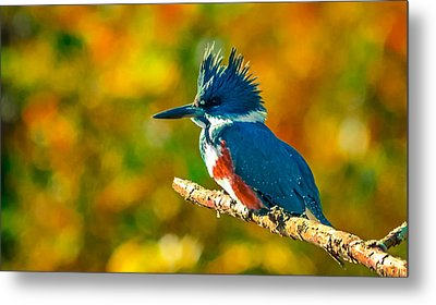 Belted Kingfisher Metal Print by Brian Stevens