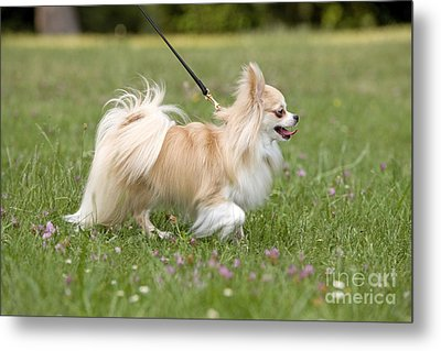 Long-haired Chihuahua Metal Print by Jean-Michel Labat