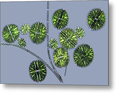 Micrasterias Desmids, Light Micrograph Metal Print by Science Photo Library