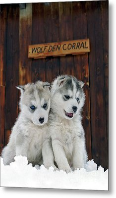 Siberian Husky Puppies Metal Print by Rolf Kopfle