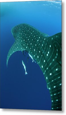 Whale Shark, Cenderawasih Bay, West Metal Print by Pete Oxford