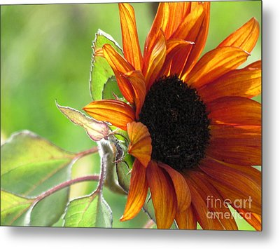 Sunflowers  Metal Print by France Laliberte