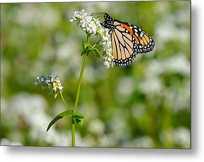 Butterfly Metal Print by Dacia Doroff