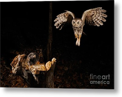 Eastern Screech Owl Metal Print by Scott Linstead