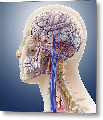 Head And Neck Anatomy, Artwork Metal Print